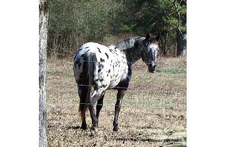 Black Leopard Appaloosa Mare | EquineWeb