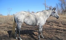 Horse Commanches Blue Frost —photo