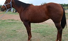 Horse Ruby ( APHA Registered) —photo