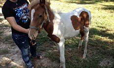 Chincoteague Pony photo