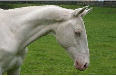 Double Registered Cremello Purebred Akhal Teke Mare Equineweb