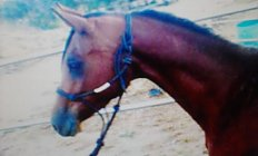 Horse Baskhezarr —photo