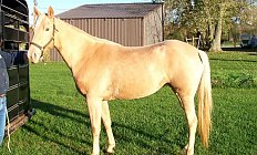 Horse Gen's Truly Yellow —photo
