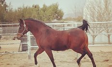 Horse MHR Allaskan —photo