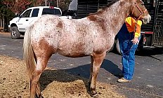 Horse Comanche —photo