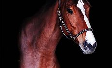 Horse Lovely Lavon —photo